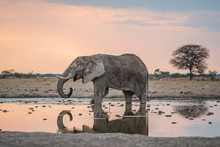 African Bush Elephants Drinking At Waterhole In Nxai Pan National Park