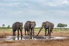 African Elephants (Loxodonta Africana) Drinking At A Waterhole With Two Hippopotamuss (Hippopotamus Amphibius), Marabou Pan, Savuti, Chobe National Park, Chobe District, Botswana, Africa