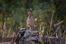 Swainson's Spurfowl (Francolinus Swainsonii) Is Standing On Deadwood, Chobe National Park, Savuti, Chobe District, Botswana, Africa