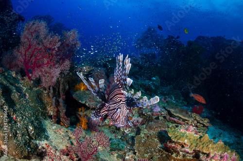 Poster Coral reefs Colorful predatory Lionfish on a tropical coral reef at dusk