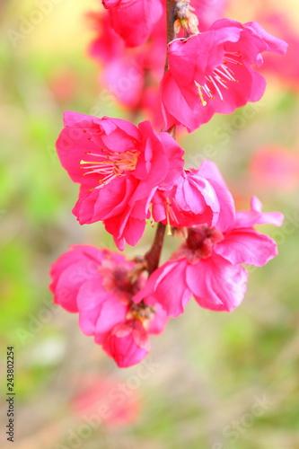 Fotobehang Zwavel geel 봄에 아름답게 피어난 매화 꽃이다.