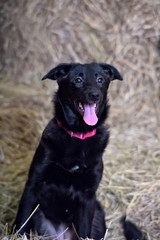 black dog in a red collar in the hayloft