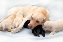 Three Fawn And One Black Labrador Puppy Sucking Their Mother's Milk