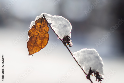 Obraz na plátně  little leaf covered with heavy snow with blur background and sunflare
