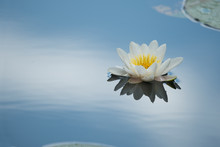 White Water Lily Is A Bright Blue Lake