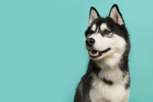 Portrait Of A Siberian Husky Looking To The Left On A Turquoise Blue Background