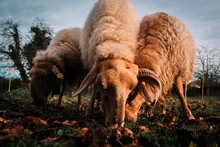 Sheep Eating Green Grass On Fi...