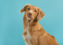 Portrait Of A Nova Scotia Duck Tolling Retriever Looking At Camera On A Blue Background