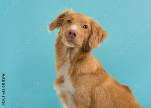 Portrait of a nova scotia duck tolling retriever looking at camera on a blue bac Fotobehang