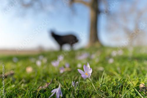 Blühender Krokus im Frühling