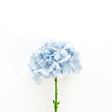 Blue Hydrangea Flower On White...