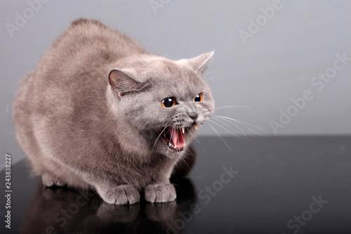 portrait of aggressive british cat Canvas-taulu