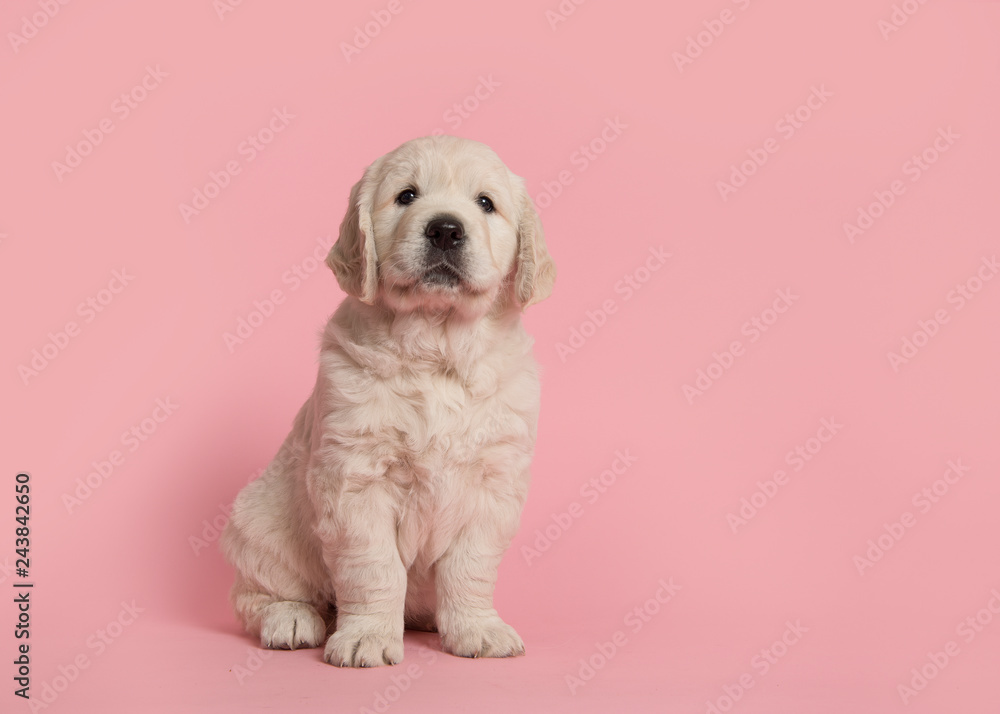 Fototapety, obrazy: Cute golden retriever puppy looking at the camera sitting on a pink background