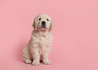 Cute golden retriever puppy looking at the camera sitting on a pink background