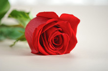 Red Rose On A Light Background. The Perfect Gift To Express Your Love And Appreciation. Close-up. Macro Shooting.