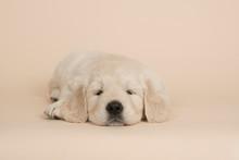Cute Golden Retriever Puppy Ly...