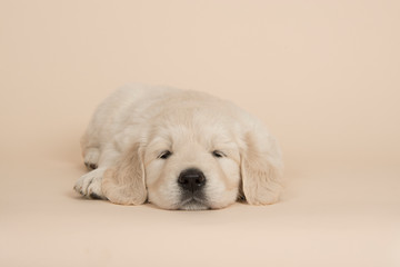Cute golden retriever puppy lying down sleeping on a sand colored background seen from the front