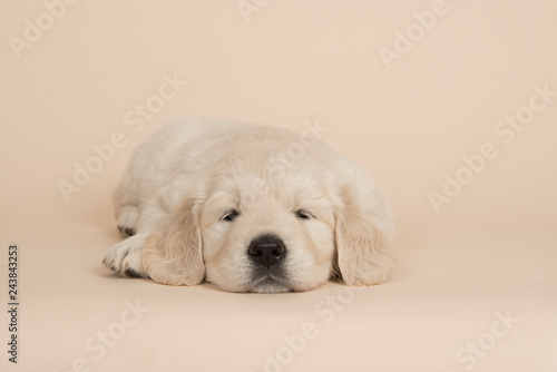 Fotografia Cute golden retriever puppy lying down sleeping on a sand colored background see