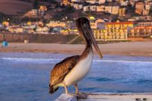 Waterfowl Pelican On The Raili...