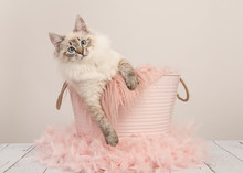 Pretty Ragdoll Cat With Blue Eyes In A Pink Bucket On A Pastel Colored Setting