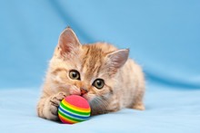 Little Red British Kitten Playing With A Colorful Ball Lying On A Blue Background