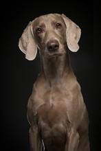 Portrait Of A Proud Weimaraner...