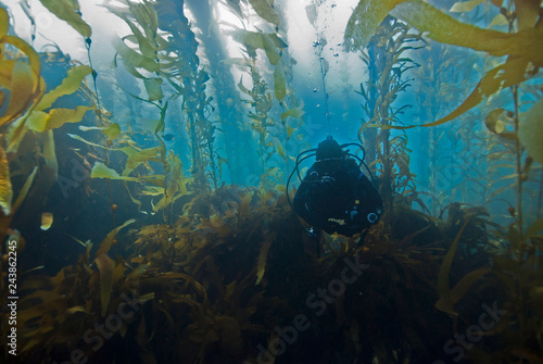 Photo  Scuba Diver diving through Giant Kelp Forest in clear blue water