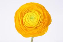 Yellow Ranunculus Flower On Wh...