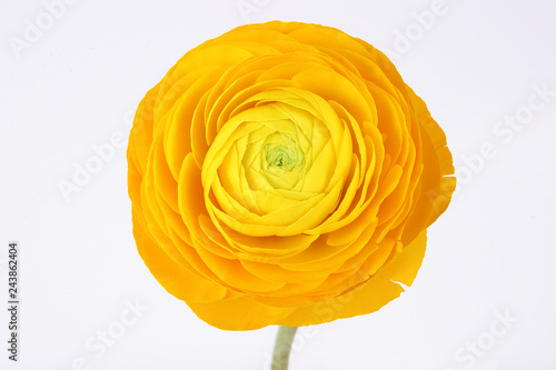 Cuadros en Lienzo Yellow ranunculus flower on white background