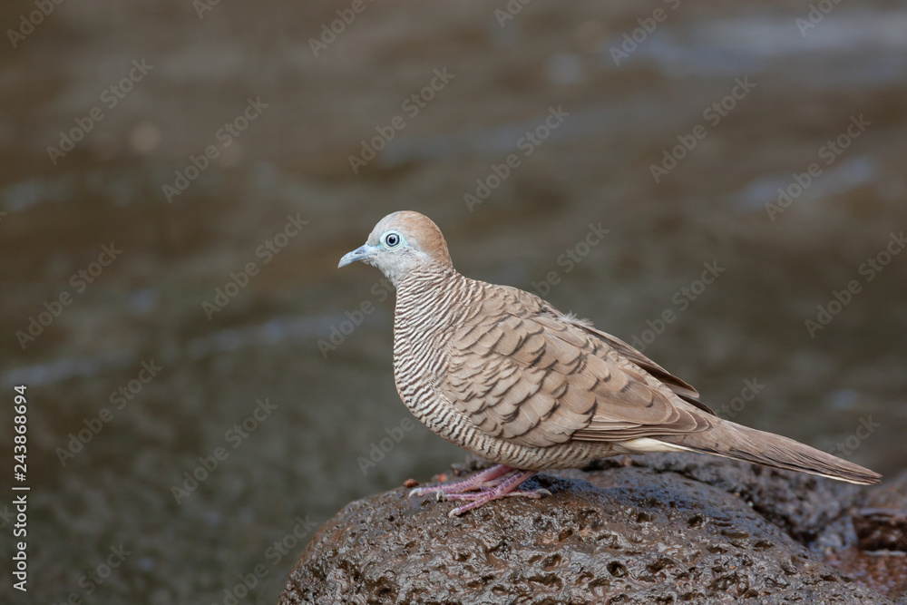 Zebra Dove on Rock