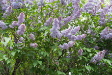 Lavender Colored Clusters Of Flowers Of Lilac In Spring