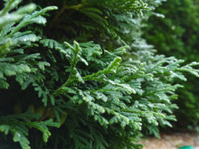 Dew On Coniferous Branches. Tu...