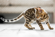A Bengal Kitten With A Long Ta...