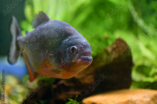 Fotografia, Obraz  One big fish piranha close-up swims in a large transparent aquarium with green p