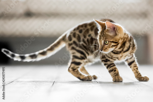 A Bengal kitten with a long tail playing on a wooden floor looking around and to the side with a sofa in the background Wallpaper Mural