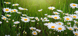 Flower background. White daisies in the summer day.