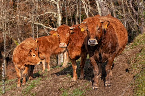 Fotografie, Obraz  A herd of cows destined for meat production