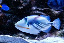 Fish Painted Triggerfish Rhine...