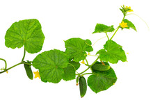 Cucumber Plant. Cucumber With Leaf And Flowers Isolated On White.