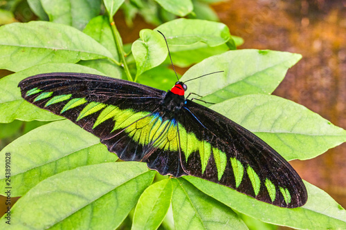 Rajah Brooke's birdwing butterfly in Malaysia tropical forest Wallpaper Mural