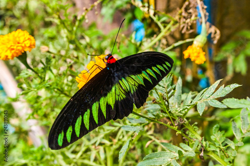 Rajah Brooke's birdwing butterfly in Malaysia tropical forest Canvas Print