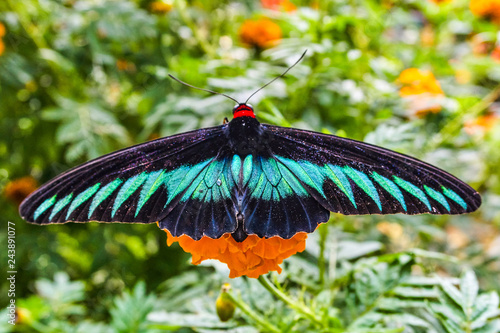 Photo  Rajah Brooke's birdwing butterfly in Malaysia tropical forest