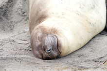 Close Up Portrait Of A Female Elephant Seal Sleeping On The Beach.