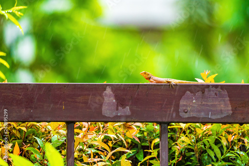 Photo  Orange lizard on the steel fence in the falling rain with blur green background