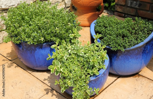 Thyme in pots.