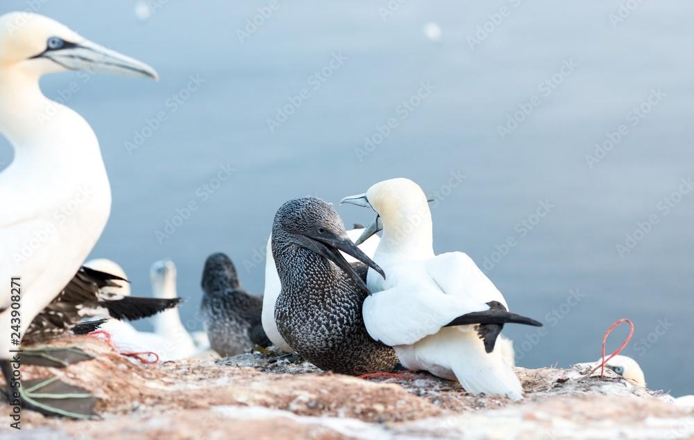 Basstölpel (Morus bassanus oder Sula bassana), Kolonie auf Lummenfelsen der Insel Helgoland, Alttiere und Jungtier, Nordsee, Schleswig-Holstein, Deutschland, Europa