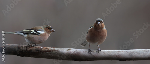 Photo  Two finches sitting on one branch on a brown blurred background