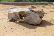 Skull Of Animal On Sand