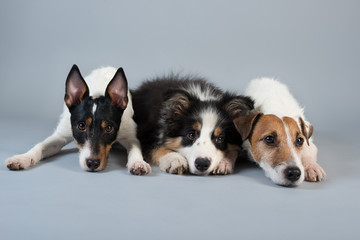 Jack Russel Terrier & Parson Russel Terrier & Border Collie pup on grey background