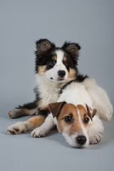 Jack Russel Terrier and Border Collie pup on grey background